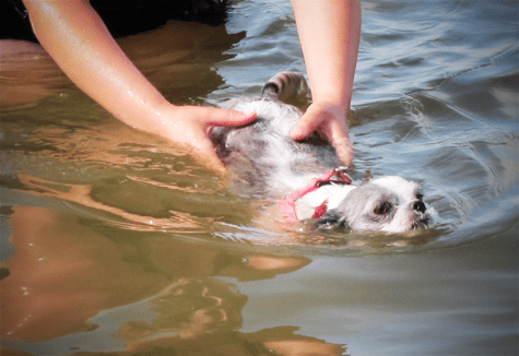 Sadie-Shih-Tzu-swimming-1