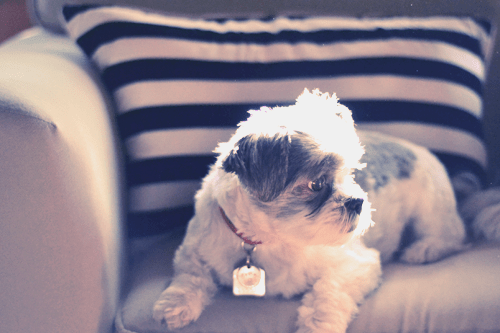 Sadie-Shih-Tzu-black-and-white-striped