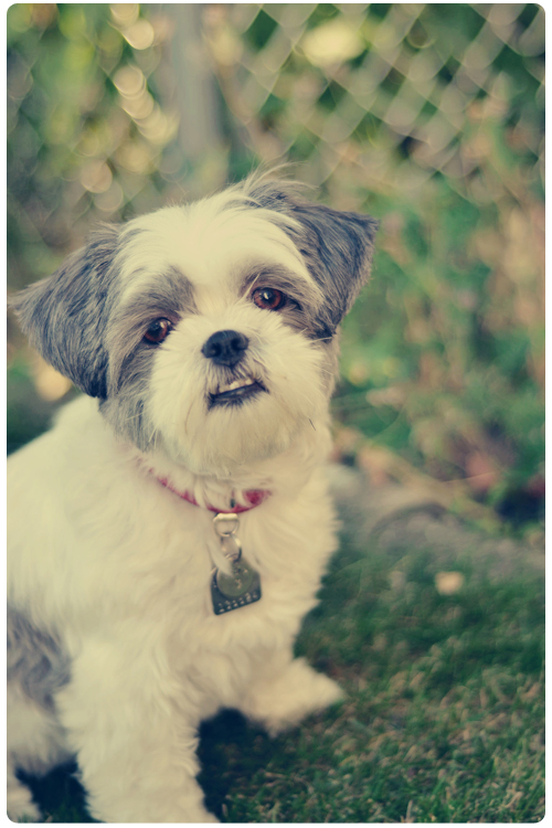 Sadie-Shih-Tzu-in-the-garden