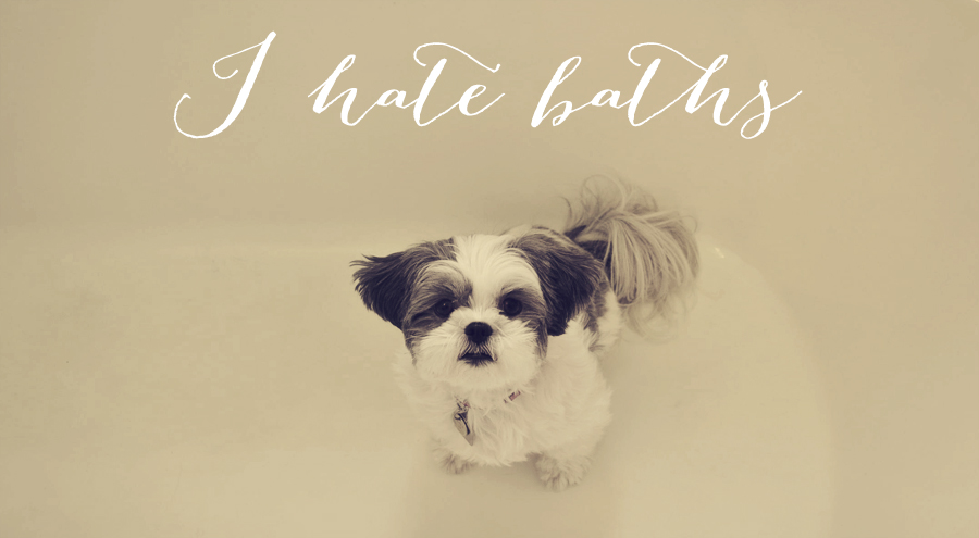 Sadie Shih Tzu I hate baths