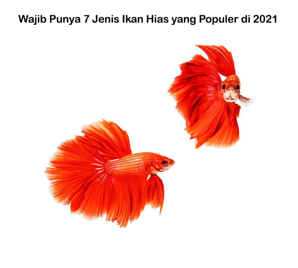 Wajib Punya 7 Jenis Ikan Hias yang Populer di 2021 GSS I Rumah subsidi rasa komersil 2021