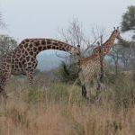 Exploring Kruger National Park: The road more or less travelled