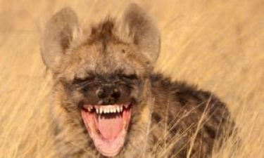 World Laughter Day_ Hyena