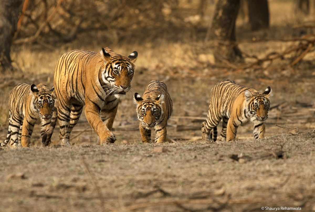 Mighty Mom Noor Of Ranthambore Tiger Reserve