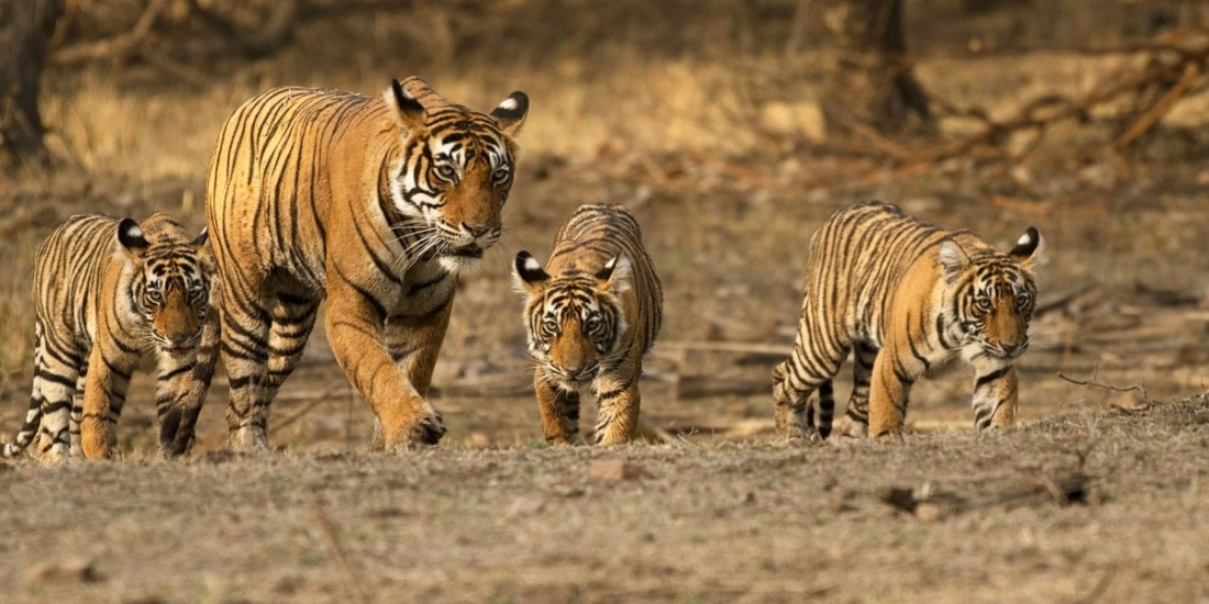 Mighty Mom: Noor of Ranthambore tiger reserve