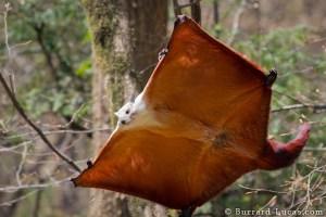 Saevus red-white-giant-flying-squirrel-burrard-lucas Transparent