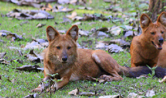 Dhole hanging out _ Nagarhole