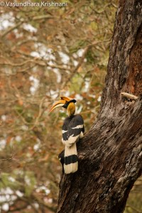 Great Indian Hornbill - Kaziranga