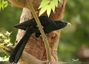 Saevus Male-Koel_Ragoo-Rao Summer Sagas: Mr. and Mrs. Koel, the Partners in Crime The Animal Kingdom  Summer Koel Asian Koel