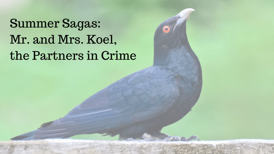 Summer Sagas: Mr. and Mrs. Koel, the Partners in Crime