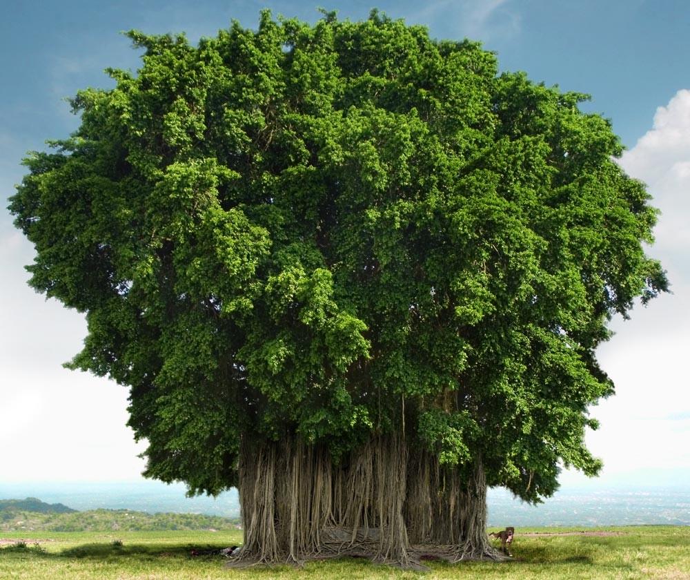 Banyan Tree_Van Mahotsav