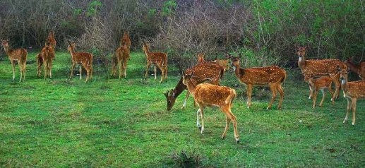 Saevus cheetals-bandipur-national-park-300x138 5 Wildlife Sanctuaries to visit during monsoon Exploration  Wildlife Sanctuary Tadoba National Park Ranthambore National Park Periyar National Park Monsoon Dachigam National Park Bandipur national Park