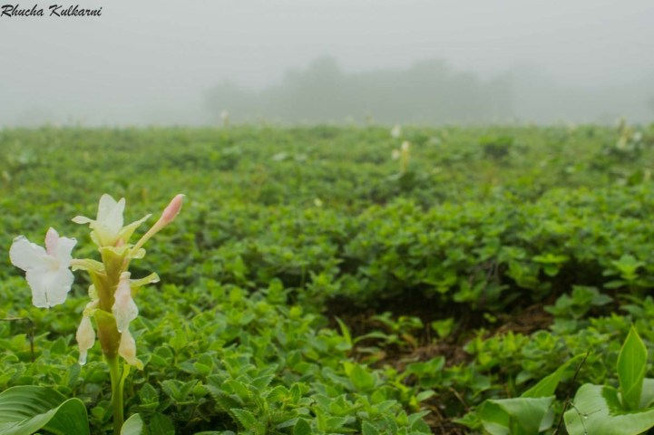 Saevus WildFlower_IndianArrowroot_RhuchaK-300x200 5 reasons to visit Kaas this monsoon! Exploration  Thosegarh Fall Satara Monsoon Kaas Plateau Flowers