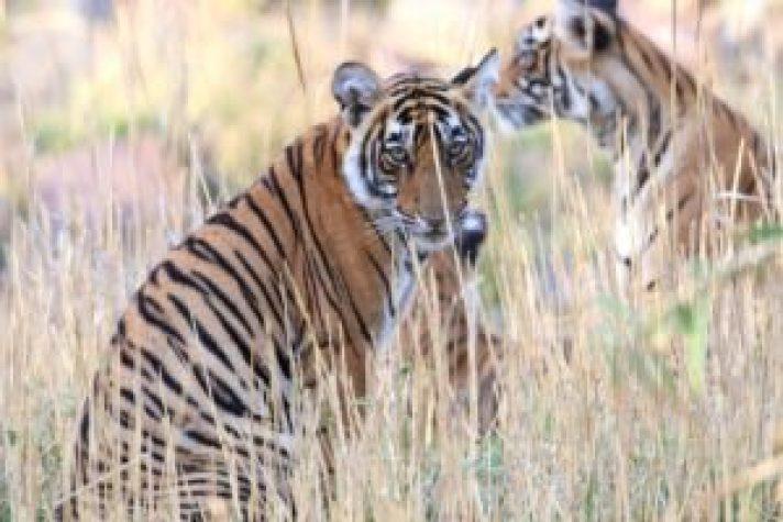 Cub of Tigress Noor