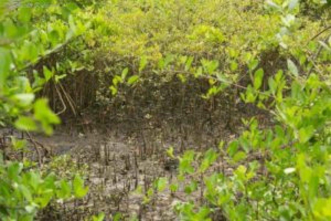 Mangrove Aerial Roots- Soil Binders