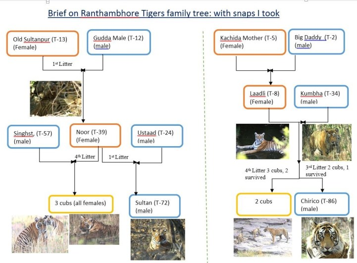Rantahmbore Tiger Family Tree-By Rohan Arora