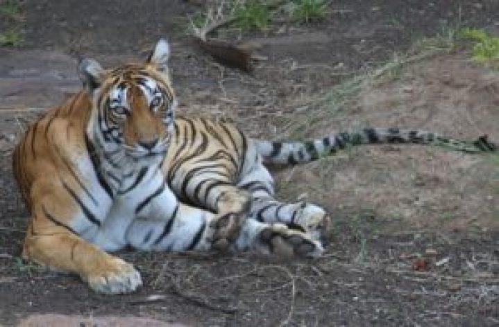 Tigress Laadli (T-8)