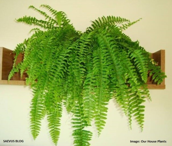boston-fern-_How you can breathe better air every day!