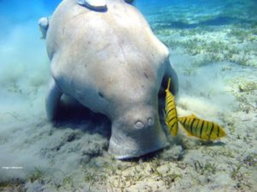 Dugong with tropical fish