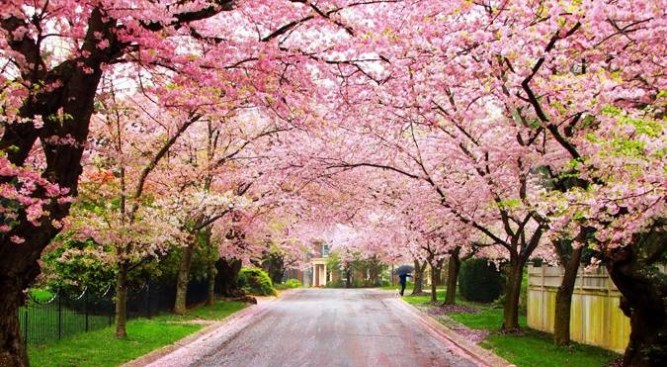 Road with both sides Cherry Trees