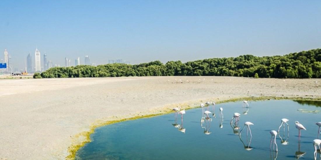 Saevus dubai-flamingos-3-1 Ras Al Khor Wildlife Sanctuary the feeding base of Flamingos in Dubai Exploration  Ras Al Khor Wildlife Sanctuary flamingo Dubai