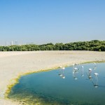 Saevus dubai-flamingos-3-1 Ras Al Khor Wildlife Sanctuary the feeding base of Flamingos in Dubai Exploration  Ras Al Khor Wildlife Sanctuary flamingo Dubai