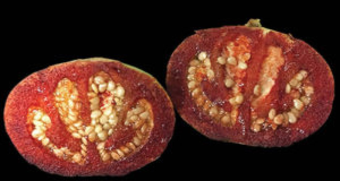 Two minutes after being cut open, the white flesh of an immature Solanum ossicruentum fruit turns red. After five minutes of air exposure, the bush tomato's bloody color becomes even darker.