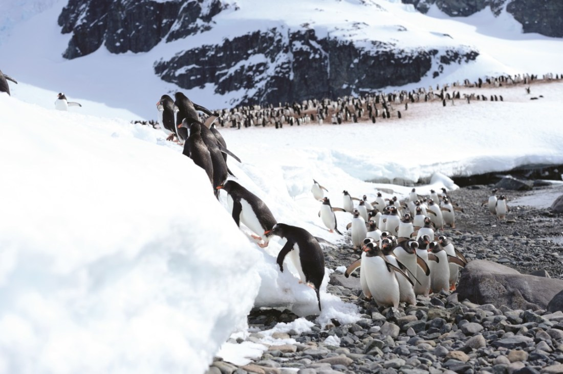 The Final Frontier, Antartica, Gentoo Penguis, SAEVUS
