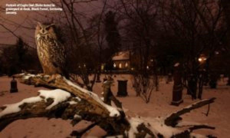 Portrait of Eagle Owl (Bubo bubo) in graveyard at dusk. Black Forest, Germany