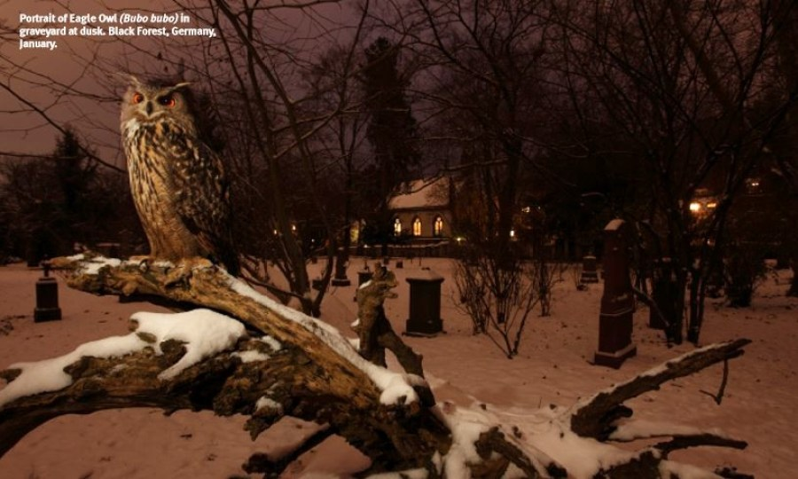 Saevus Portrait-of-Eagle-Owl-Bubo-bubo-in-graveyard-at-dusk.-Black-Forest-Germany-300x180 Chronicles of the Black Forest Tete - A - Tete World  Klaus Echle Black Forest