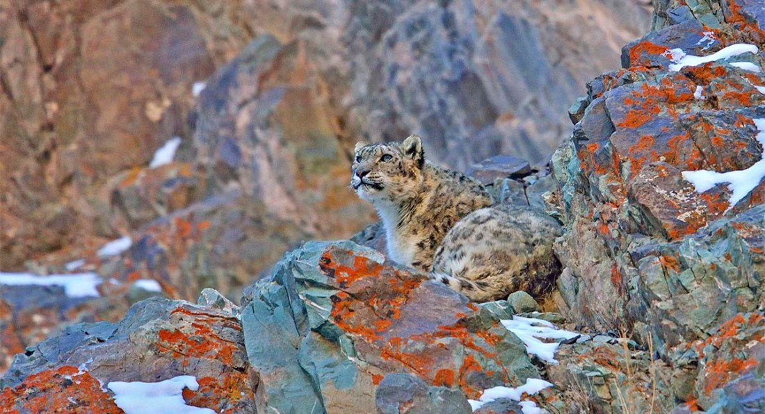 Snow leopard (Panthera uncia or Uncia uncia) resting on a lichen covered rock in Hemis national park, Ladakh, India