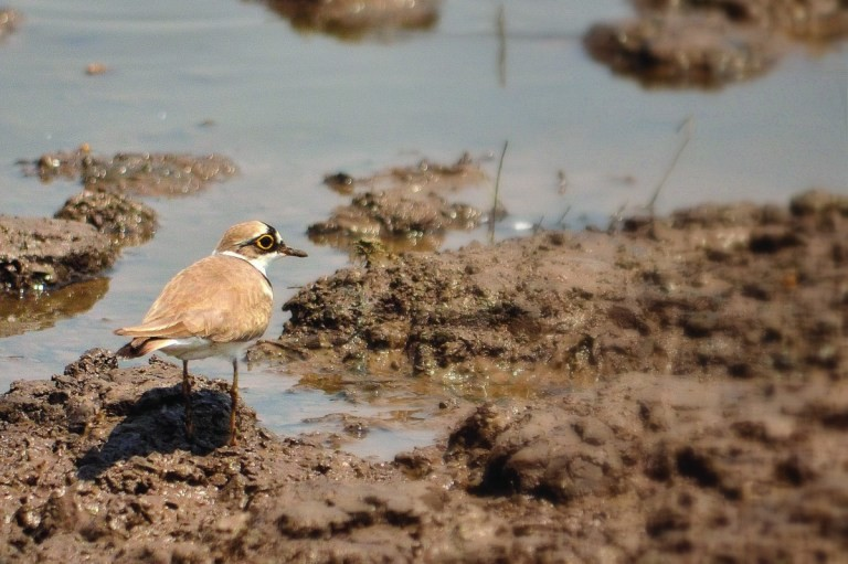 The Little Ringed Plover camouflaged with the gravel | Photo: Anurag Mishra