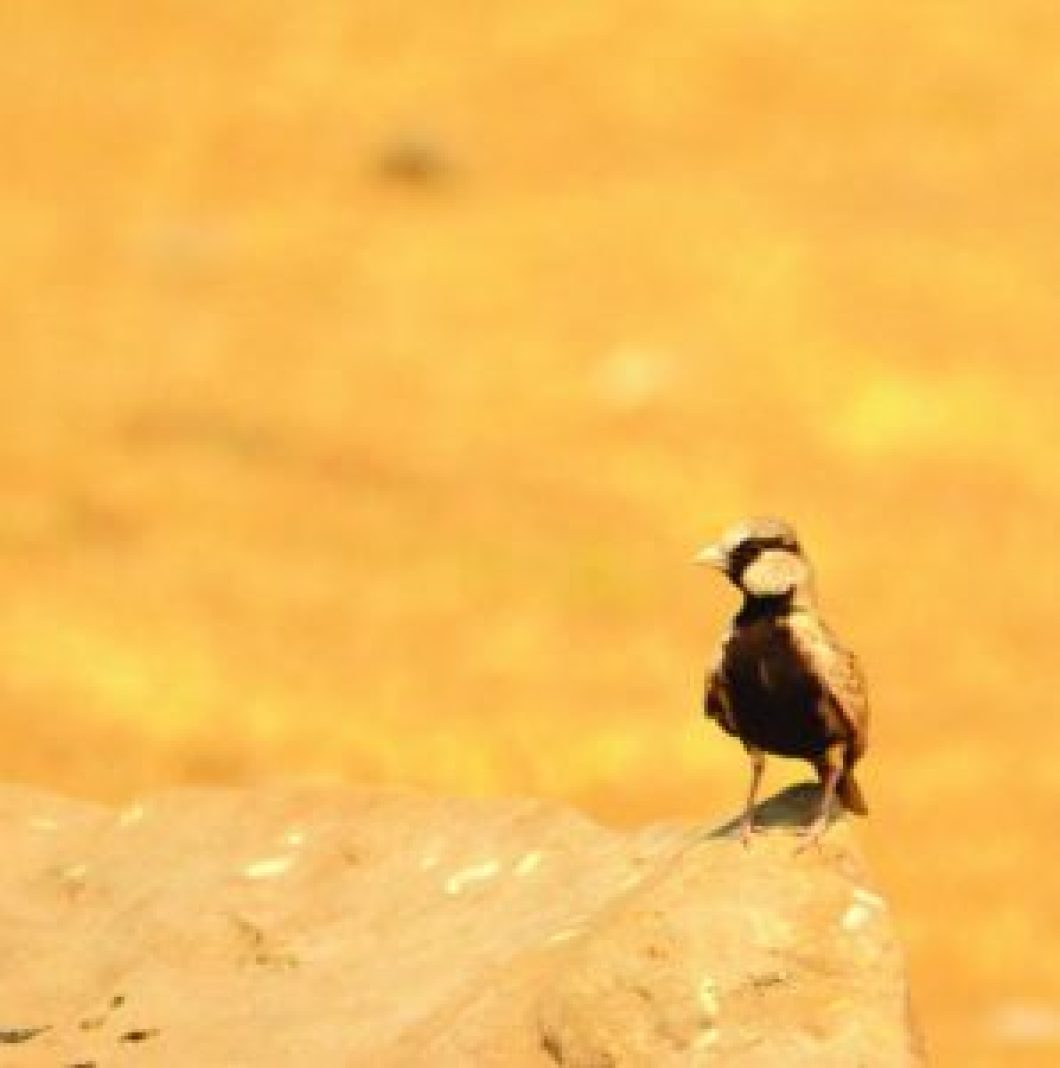 Ashy-crowned Sparrow Lark (Eremopterix griseus) is common across Indian plains. The tiny larks crouch on the ground, when approached by a predator, relying on their colour to blend them in, but are capable of taking quick flight in case camouflage, doesn't work, Bhigwan