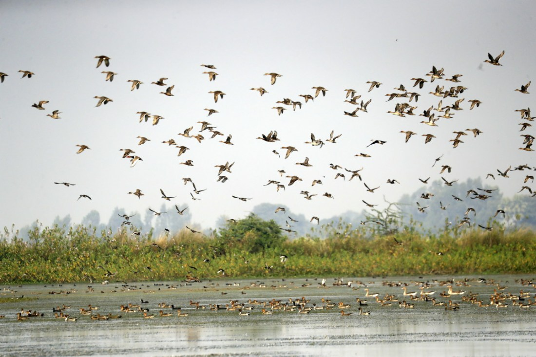 Saevus 61I5976 Flocking to the wetlands of Uttar Pradesh Conservation  Lakh-Bahosi Bird Sanctuary