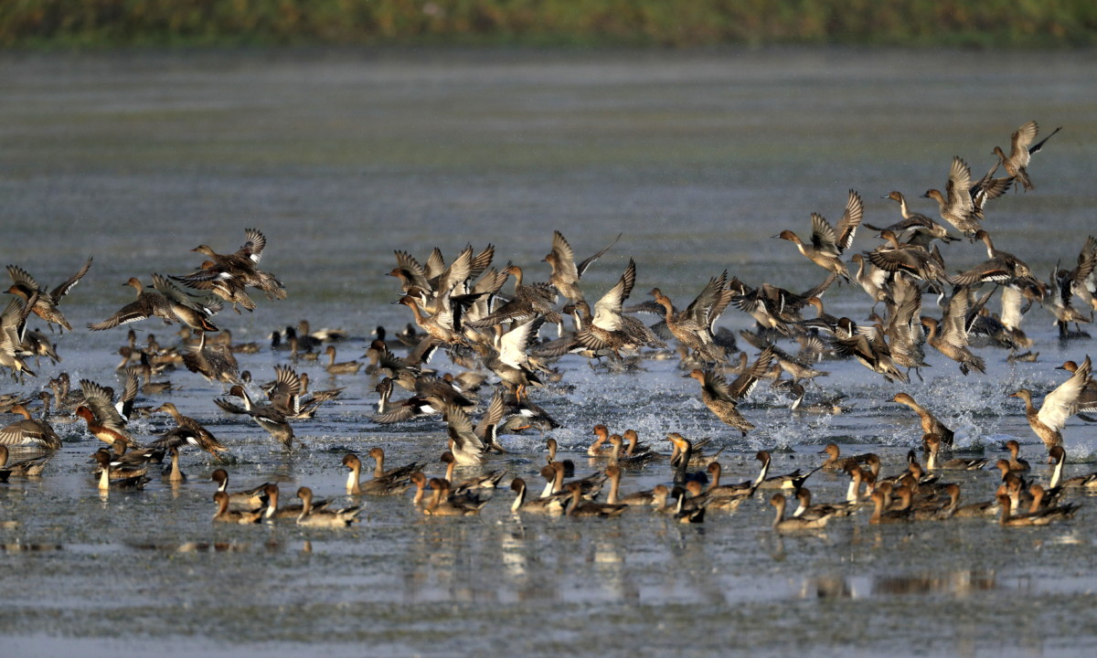 The two disjointed wetlands has very good fall of migratory birds as compared to many others, in year when rains were 50% of normal.