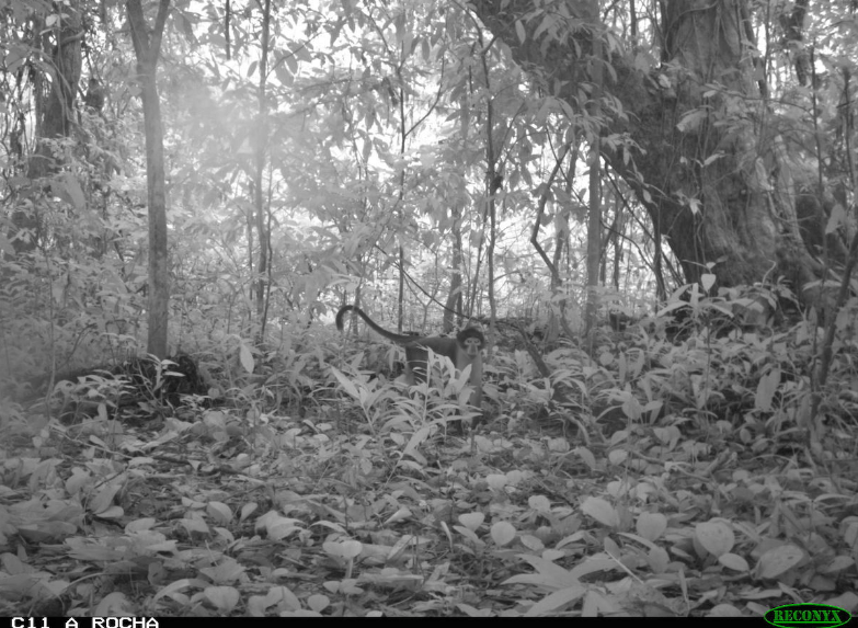 Camera trap footage shows a white-naped mangabey (Cercocebus lunulatus) in a forest in the Atewa mountains. Photo courtesy of A Rocha