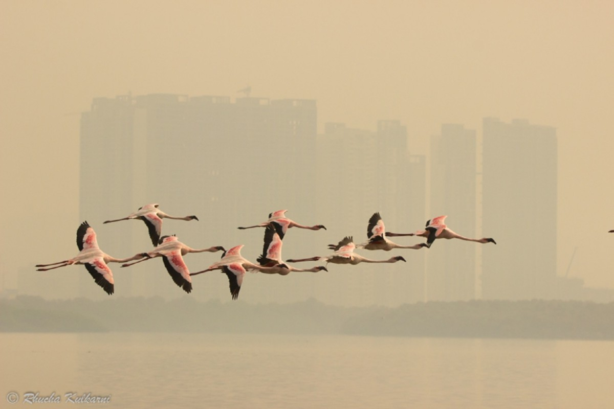 Saevus Flamingos-in-flight A Pink Affair to Protect Conservation  Pink Mumbai flamingo Conervation