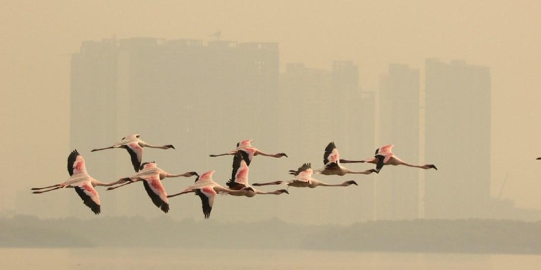 Flamingos in flight_Pink