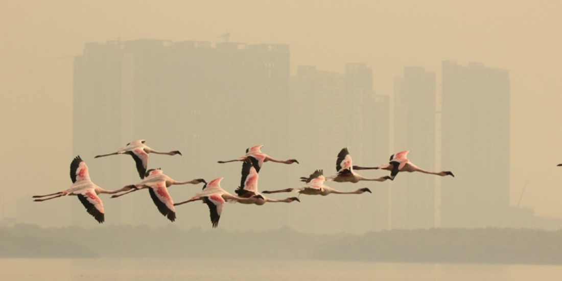 Flamingos in flight_Pink