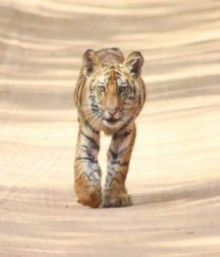 Male cub, Himmat Singh