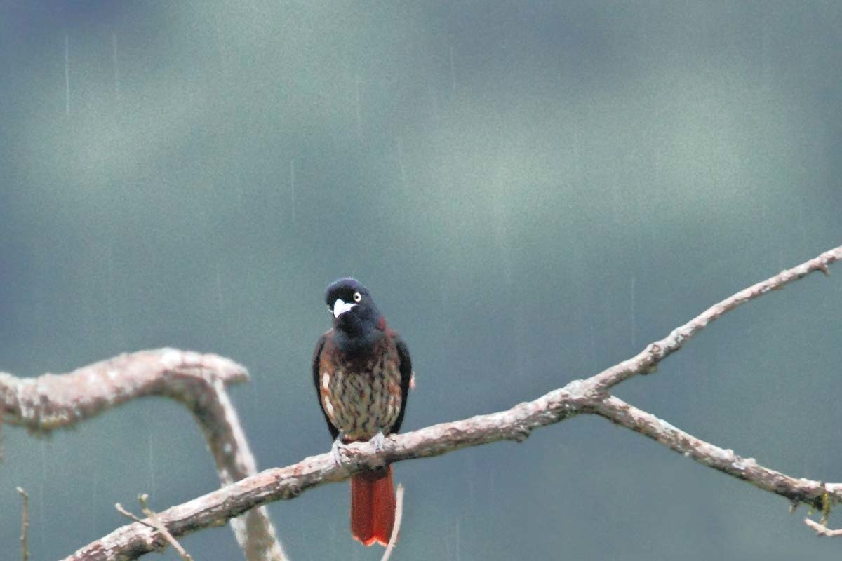 Saevus Maroon-oriole-in-rains-saevus Exploring the best of avian and wildlife in the foothills of Himalayas Exploration  himalaya Eaglenest Arunachal Pradesh