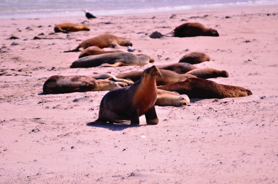Seal Bay Conservation Park, Kangaroo Island, supports the world's third-largest breeding colony of the endemic Australian sea lion.