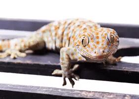 Saevus lizard Astronomically high value illegal Lizard trade has taken deeper root News  trade lizard illegal