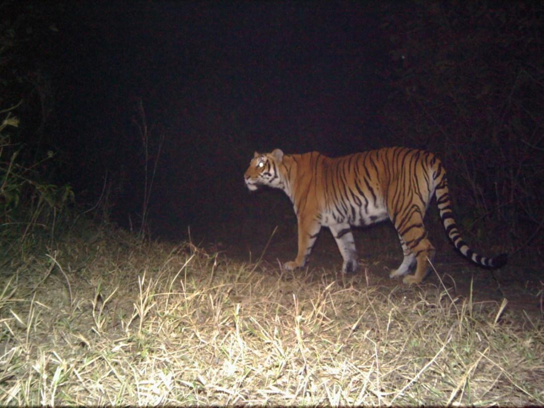 Tigress sighting