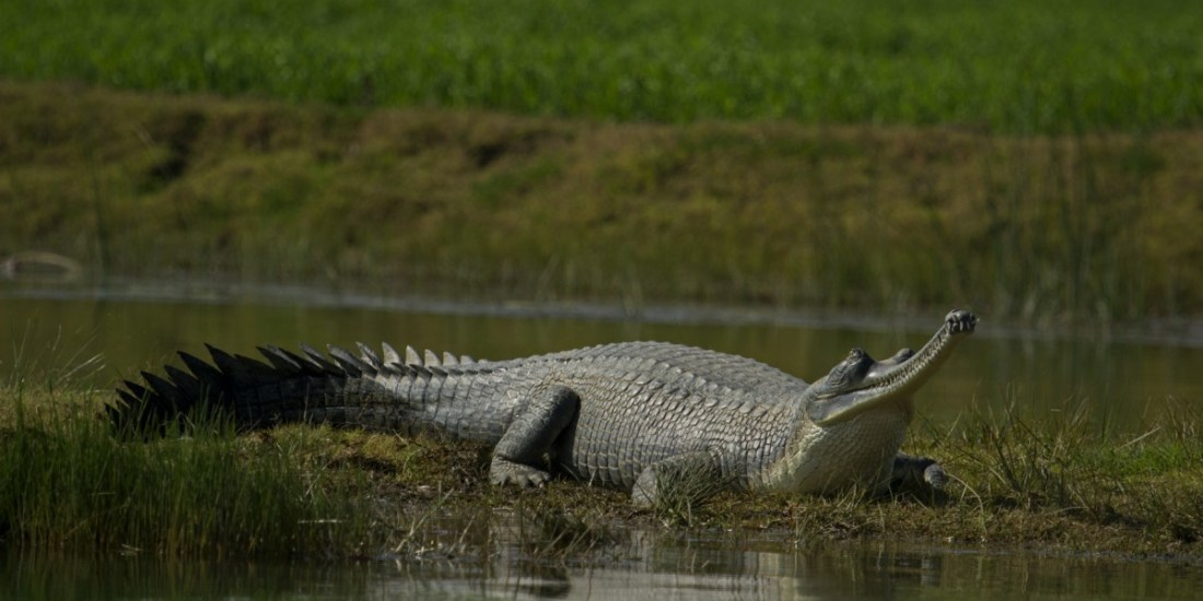 Discovery of new gharial population