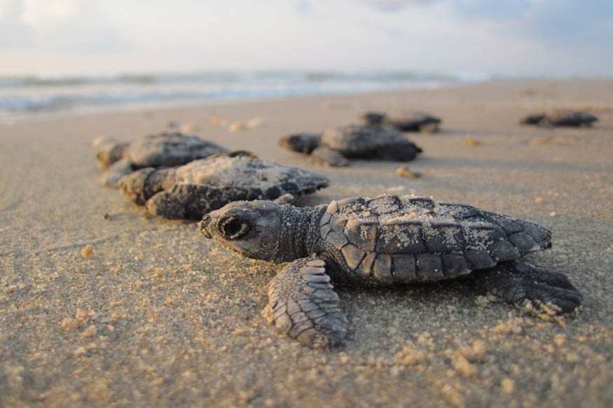 After 20 Years, Olive Ridley Turtles Find a Beach in Mumbai Clean Enough to Nest