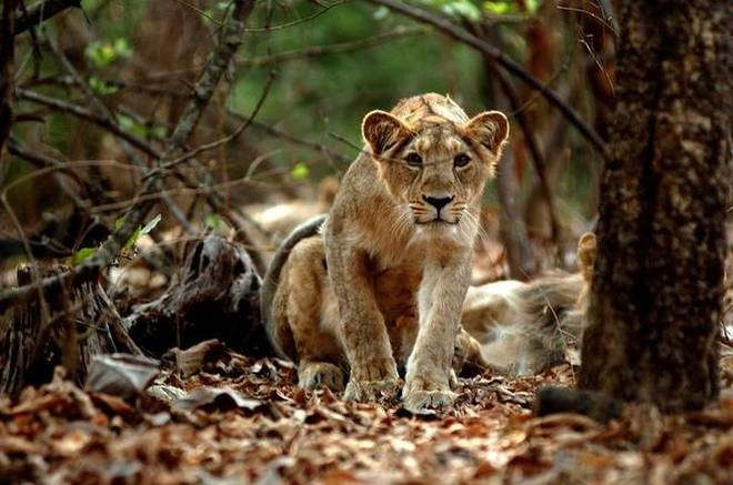 The endangered Asiatic lion faces a new threat: wildlife tourism