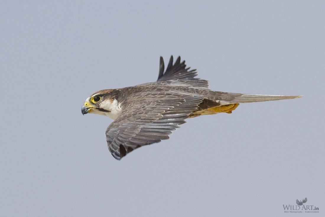 Laggar falcon in flight-Predatory Tactics