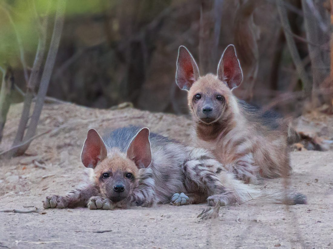 Pups of Hyena-Saevus