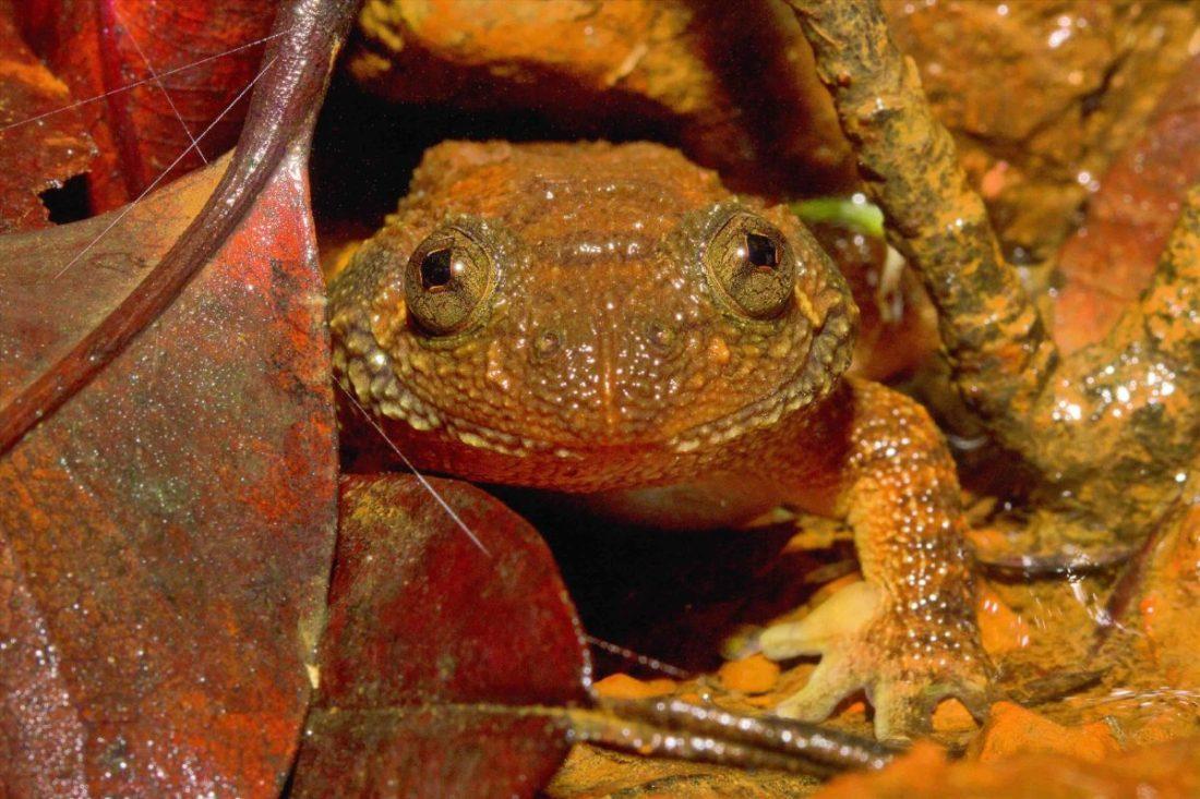 Castle Rock Wrinkled Frog
